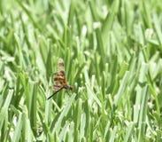 万圣夜信号旗drogonfly在草刀片栖息 免版税库存图片