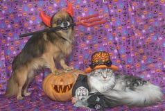 万圣夜南瓜、缅因树狸猫和奇瓦瓦狗 免版税库存图片