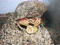 万圣夜螃蟹 库存图片