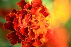 万客隆庭院开花橙色颜色绿色夏令时 免版税库存图片