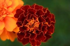 万客隆庭院开花橙色颜色绿色夏令时 库存照片