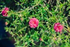 万寿菊、桃红色、红色词根和绿色叶子 库存照片
