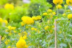 万寿菊一棵植物在庭院里在阳光下的夏天,典型地与yellowl,自然背景,抽象背景,精选的焦点 库存图片