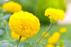 万寿菊一棵植物在庭院里在阳光下的夏天,典型地与yellowl,自然背景,抽象背景,精选的焦点 免版税库存照片