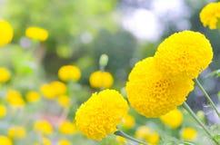万寿菊一棵植物在庭院里在阳光下的夏天,典型地与yellowl,自然背景,抽象背景,精选的焦点 免版税图库摄影