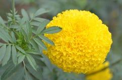 万寿菊一棵植物在庭院里在阳光下的夏天,典型地与yellowl,自然背景,抽象背景,精选的焦点 免版税库存图片