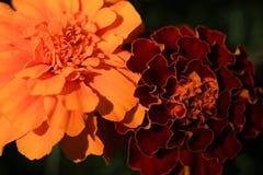 万寿菊万客隆庭院开花橙色颜色绿色夏令时 库存图片