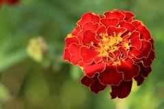 万寿菊万客隆庭院开花橙色颜色绿色夏令时 免版税库存照片
