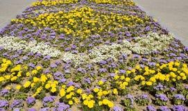 万寿菊和藿香蓟属 库存照片