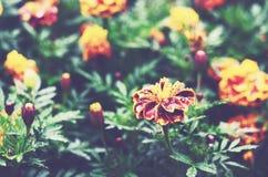 万寿菊在庭院里开花在雨以后 免版税库存图片