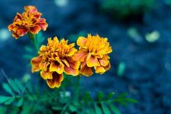 万寿菊在庭院里茂盛了,黑暗地馊与黄色边缘 在瓣的蚂蚁蠕动 免版税库存图片
