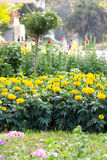 万寿菊在庭院里 库存图片