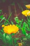 万寿菊在庭院里 免版税图库摄影
