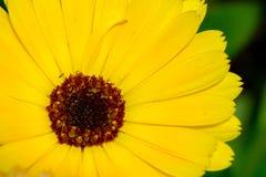 万寿菊在庭院里 免版税库存图片