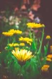 万寿菊在庭院里 免版税库存照片