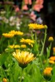 万寿菊在庭院里 库存照片