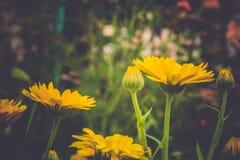 万寿菊在庭院里 图库摄影
