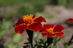 万寿菊在我的庭院安大略加拿大里 图库摄影