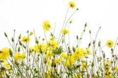 万寿菊在白色背景的草甸开花黄色波斯菊 图库摄影