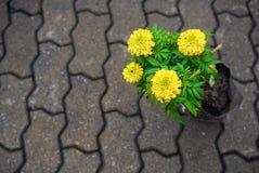 万寿菊在砖蠕虫地板上的花植物 免版税库存图片