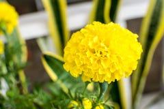 万寿菊是美丽的明亮的黄色花 库存照片