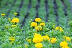 万寿菊植物它在庭院里 库存照片