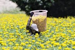 万寿菊汇集 库存照片
