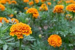 万寿菊的橙色和黄色颜色在庭院里开花或花为装饰并且使hou环境美化区域的种植园的公园 图库摄影