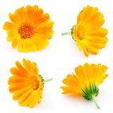 万寿菊花。 金盏草。 在白色的花。 集 免版税库存照片