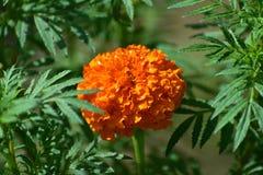 万寿菊花在一个绿色环境里 免版税库存图片