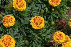 万寿菊花在公园 库存图片