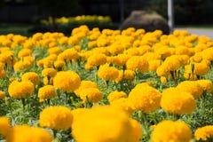 万寿菊花在公园 免版税库存图片