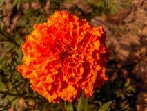 万寿菊花在庭院里 库存图片