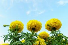 万寿菊花在有天空的庭院里 免版税图库摄影