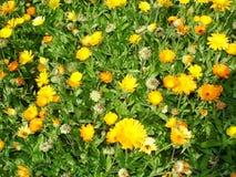 万寿菊花被传染的蚜虫 免版税库存照片