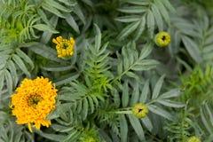万寿菊花,绿色叶子, 免版税库存照片