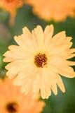 万寿菊顶视图 库存图片