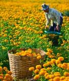 万寿菊领域在泰国 免版税库存图片