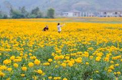 万寿菊领域 库存照片