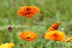 万寿菊黄色花在庭院里 免版税库存图片