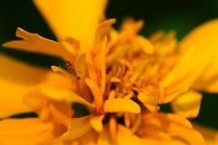 万寿菊& x28; Tagetes erecta,墨西哥万寿菊 免版税图库摄影