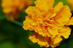 万寿菊& x28; Tagetes erecta,墨西哥marigold& x29; 库存照片