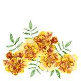 万寿菊Tagetes erecta,墨西哥万寿菊,阿兹台克万寿菊 免版税库存图片