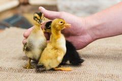 三上色了新出生的鸭子由一位农夫的粗砺的人的手一块亚麻布的支持 图库摄影