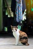 三上色了猫坐在缠腰带附近 免版税库存图片