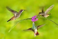 三与桃红色花的鸟 蜂鸟布朗紫罗兰色耳朵,飞行在美好的紫罗兰色绽放旁边,好的开花的绿色背景 免版税库存图片