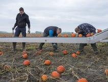 三个人在荷兰收获在领域的橙色南瓜在格罗宁根省  免版税库存照片