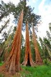 三个兄弟-美国加州红杉树,优胜美地 免版税库存照片
