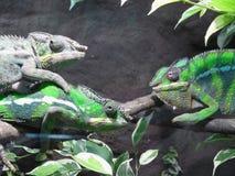 三个变色蜥蜴 免版税图库摄影