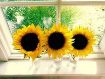 三个向日葵在一个晴朗的窗口里 免版税库存图片